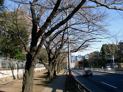イギリス大使館前桜並木