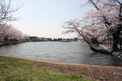 五郎沼の桜