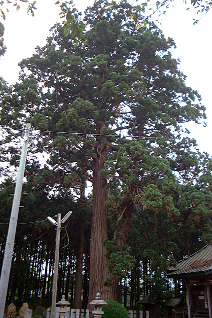 延命寺地蔵堂の巨杉