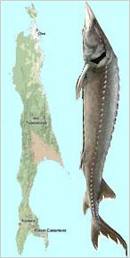 サハリンとチョウザメ