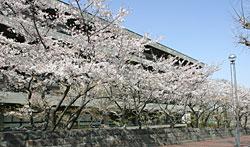 国会図書館前の桜