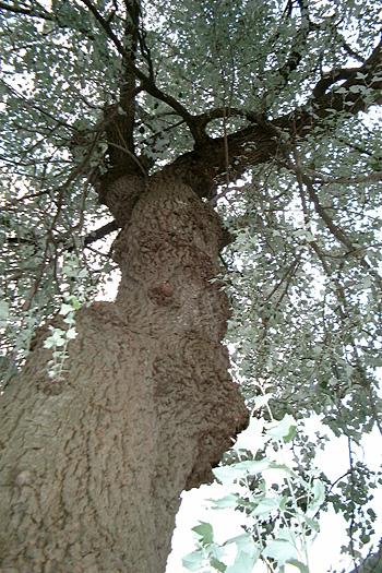 黒沢尻南高校にあった賢治寄贈の「銀どろ」の木