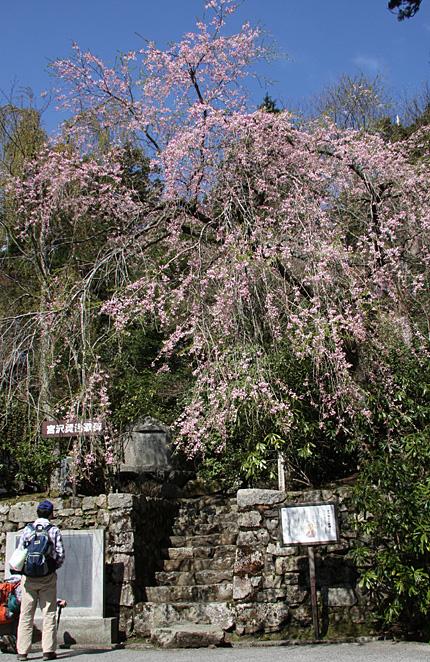 賢治歌碑と桜