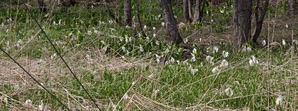 大野平湿原のミズバショウ