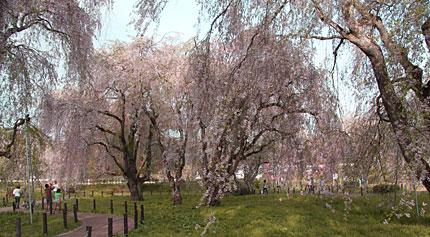 米内浄水場のしだれ桜