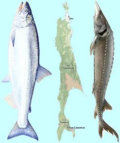 サハリンと鮭と蝶鮫