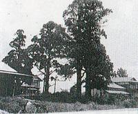 伐採前の四本杉