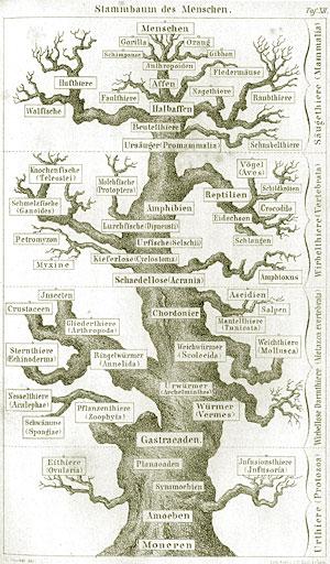 ヘッケルによる生物系統樹